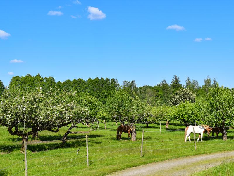 Angelreisen Schweden 7051-7053 Ferienhäuser Urshult Apfelbäume mit Ponys
